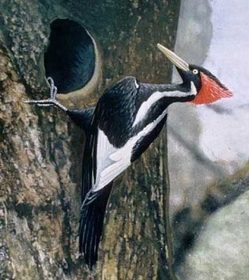 Robotic Cameras Search for Ivory-Billed Woodpecker