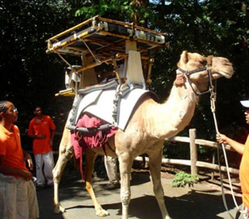 Solar Powered Camel delivers vaccines