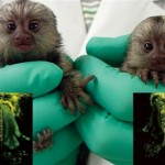 Monkey passes glowing gene to offspring in research milestone