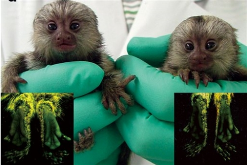Monkey with glowing green feet passes gene to offspring.