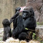 Gorilla chills with Nintendo DS portable in San Francisco